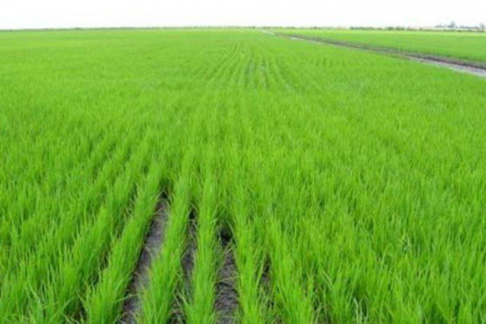 Cambio climático afectó producción del arroz en Colombia | EL ESPECTADOR